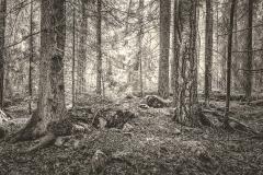 Skog i svartvit