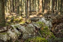 Gamla trädstammen